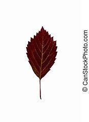 outono, folha carvalho, branco, fundo