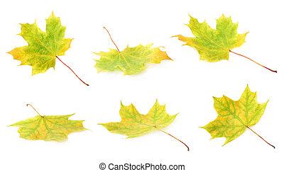 outono, folha verde, isolado, maple