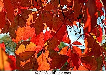 outono, folha, vermelho