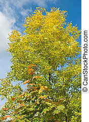 Outono, folhas, cinza,  Maple