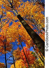 outono, maple, árvores