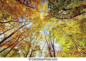 outono, outono, árvores., brilhar sol, através, coloridos,...
