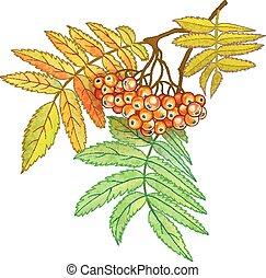 outono, ramo, de, rowan, com, bagas, e, folhas