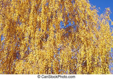 outono sai, amarela, vidoeiro