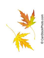 outono sai, branca, maple