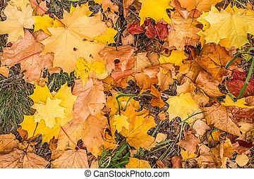 outono sai, parque, amarela