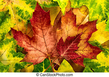 outono sai, vívido, arranjo