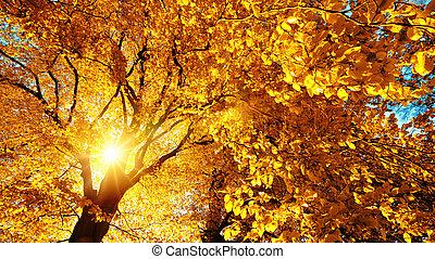 outono, sol, beautifully, iluminar, um, árvore faia