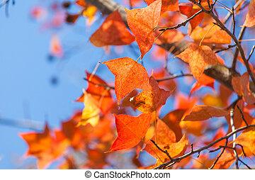 outono, vermelho sai, fundo