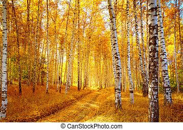 outono, vidoeiro, floresta