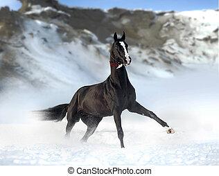 outstanding black akhal-teke stallion with snowy mountains...