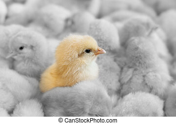 Outstanding chick - A chick in between yellow chicks group