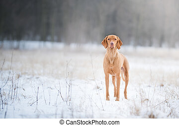 Outstanding hungarian pointer dog on snow in winter