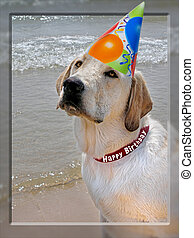 Outstanding - Yellow labrador retriever in with party hat in...