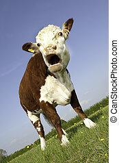 ouverture bouche, vache