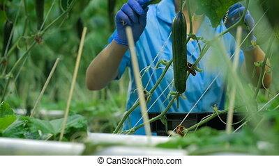 ouvrier, haut, concombre, serre, mains, cueillette
