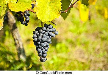 ov, uvas, grupo