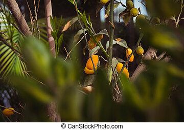 Oval kumquat tree with fruits