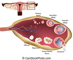 Ovary - Female reproductive system. Female Ovary. Showing...