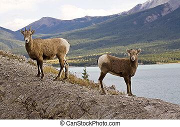 oveja rocosa montaña