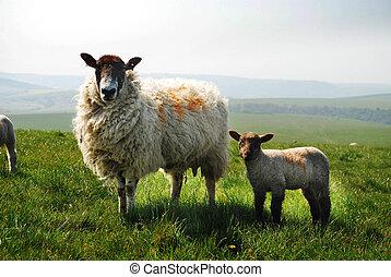 oveja, y, cordero