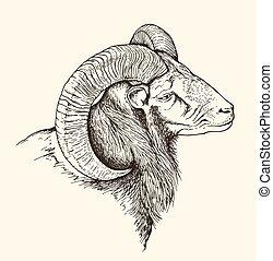 ovejas de la montaña, carnero