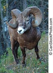 ovelha bighorn