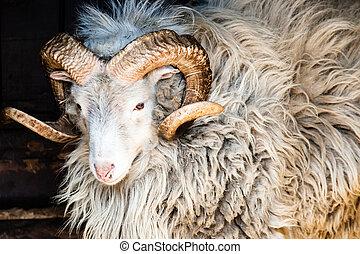 ovelha dalls, grande, chifres