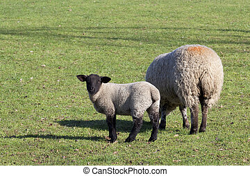 ovelha, e, cordeiro, 2