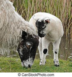 ovelha, e, cordeiro