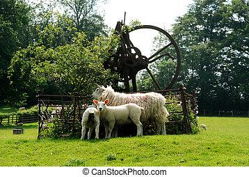 ovelha, e, cordeiros