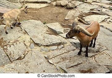 ovelha montesa