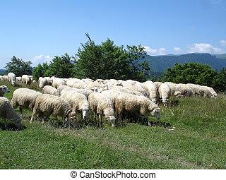 ovelhas cultivam, zealand., vista, novo