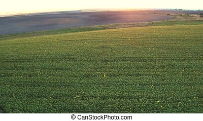 Over a Field of Sunflowers at golden sunset, aerial panoramic view.