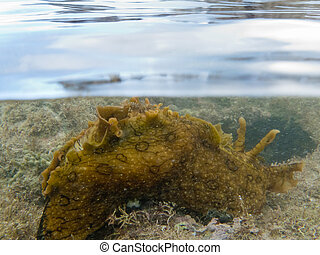 Over-under split shot of marine slug in seaweed