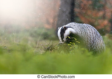 Overall view of the European Badger in nature habitat