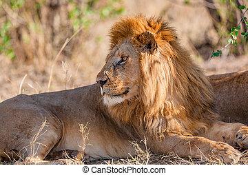 overblijfsels, afrika, boompje, groot, leeuw, onder, wild, mannelijke