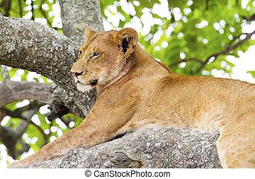 overblijfsels, boompje, leeuw, afrika, beklimming