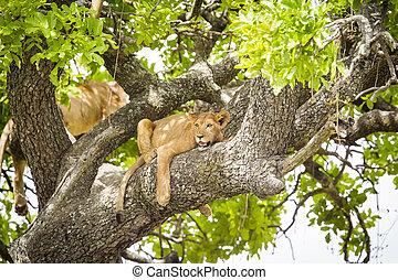 overblijfsels, boompje, leeuw, warme, afrikaan, dag, really