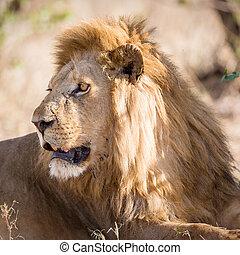 overblijfsels, groot, leeuw, mannelijke , afrika