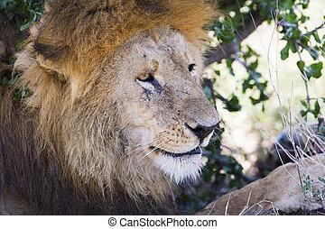 overblijfsels, grote boom, leeuw, afrika, onder, mannelijke