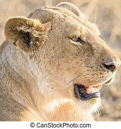 overblijfsels, leeuw, serengeti