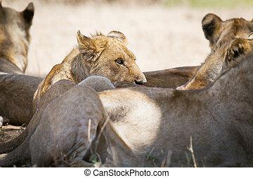 overblijfsels, leeuw, trots, schaduw