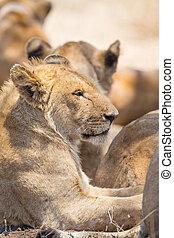 overblijfsels, leeuw, trots, serengeti