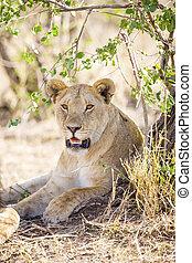 overblijfsels, schaduw, lioness, afrikaan
