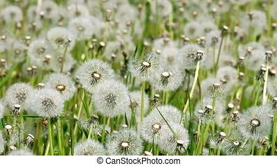 Overblown white dandelions on sunny day