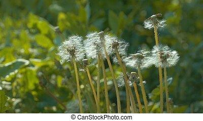 overfly dandelions in the wind slow motion video