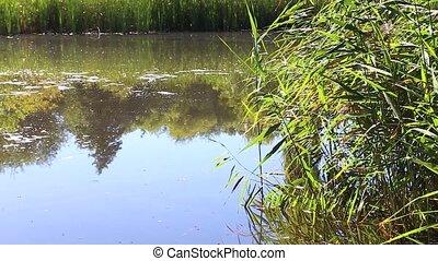 Overgrown lake in summer