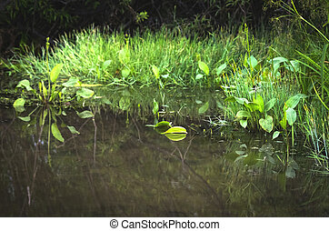 Overgrown River, Stream, Lake or Pond Shoreline with Grass and Waterweeds. Tree Branches Reflections. Monochoria Plants in Water. Fairy Tale Concept.