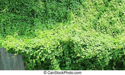 Overgrown wild vine crossing rusty metal fence - Nature?s...